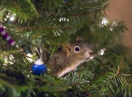 Cet adorable écureuil a élu domicile dans un sapin de Noël (PHOTOS)