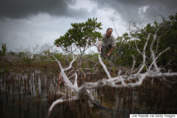 climate change mangrove