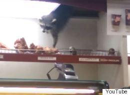 Toronto: Ce raton laveur futé réussit à voler un beigne