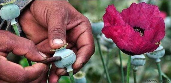 heroin poppy