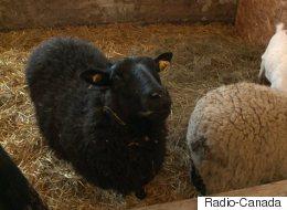 Un refuge pour animaux de ferme dans la Mitis (VIDÉO)