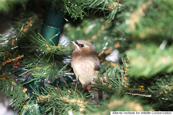 Alberta Wildlife Organization Asks For Donations Of Christmas Trees
