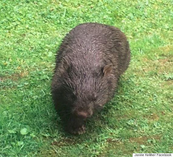 wet wombat