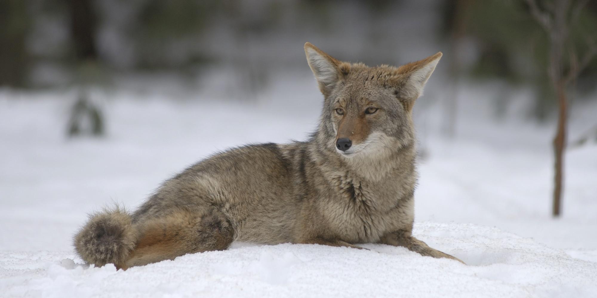 alberta coyote hunting contest to go ahead despite threats. Black Bedroom Furniture Sets. Home Design Ideas