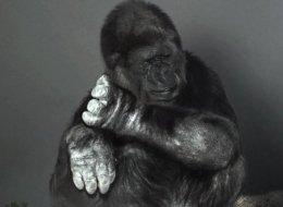 Gorilla-Dame Koko beherrscht Zeichensprache - und sie hat den Menschen etwas Wichtiges zu sagen