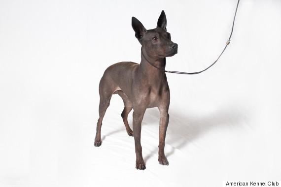 hairless terrier
