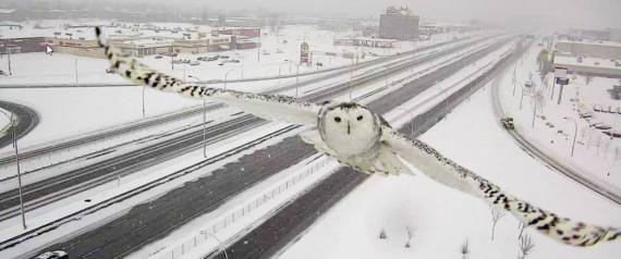 SNOWY OWL QUEBEC TRAFFIC CAMERA
