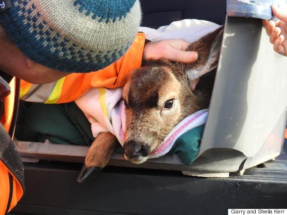 deer rescue duncan bc