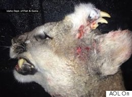 Ce puma tué en Idaho avait une difformité assez spéciale