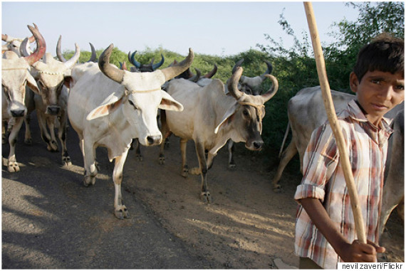 cattle grazing india