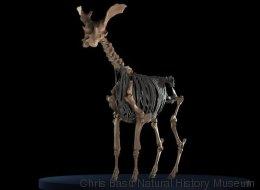 Cet ancêtre bizarre de la girafe a été reconstitué pour la première fois (PHOTOS)