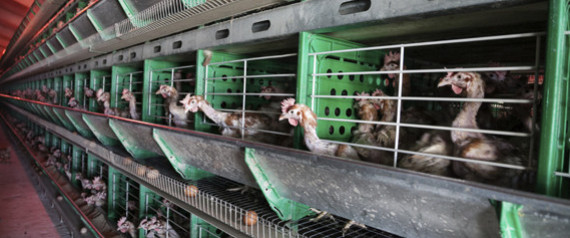 ENRICHED CHICKEN CAGES