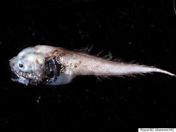 assfish