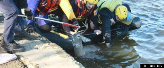 Tidal Basin Deer Rescue