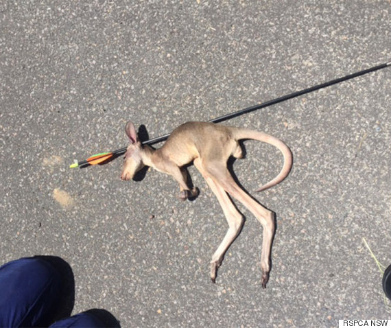 kangaroo killed with arrow