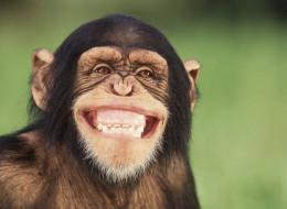 How Political Elections Mirror Chimpanzee Behavior