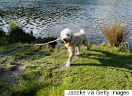 Lancer un bâton de bois à son chien est dangereux