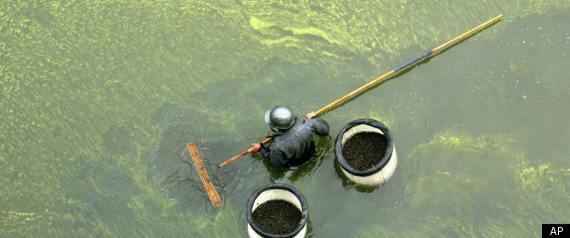 green algae is gay