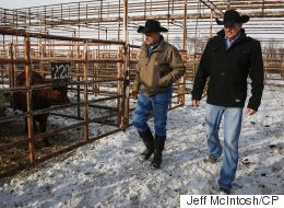 Cattle Rustling Is Still A Real Problem In The Canadian Prairies
