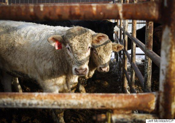 alberta cattle