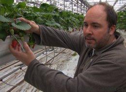Des fraises québécoises offertes sur le marché en janvier