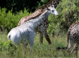 Une girafe blanche très rare aperçue en Tanzanie (PHOTOS)