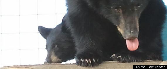 Orphan Bear Cubs