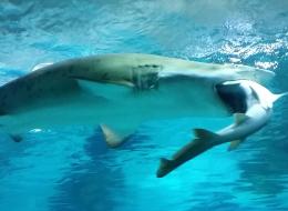 Pour le dîner, ce requin d'aquarium a englouti son rival (VIDÉO)