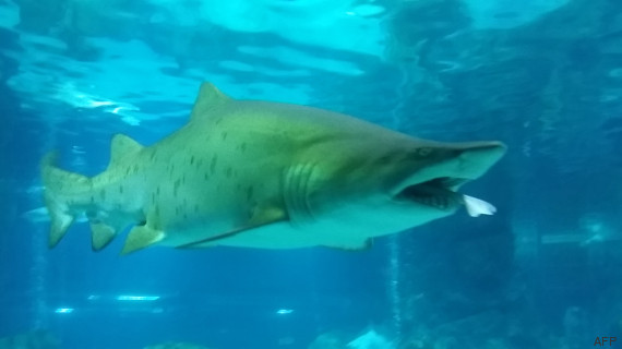 video requin