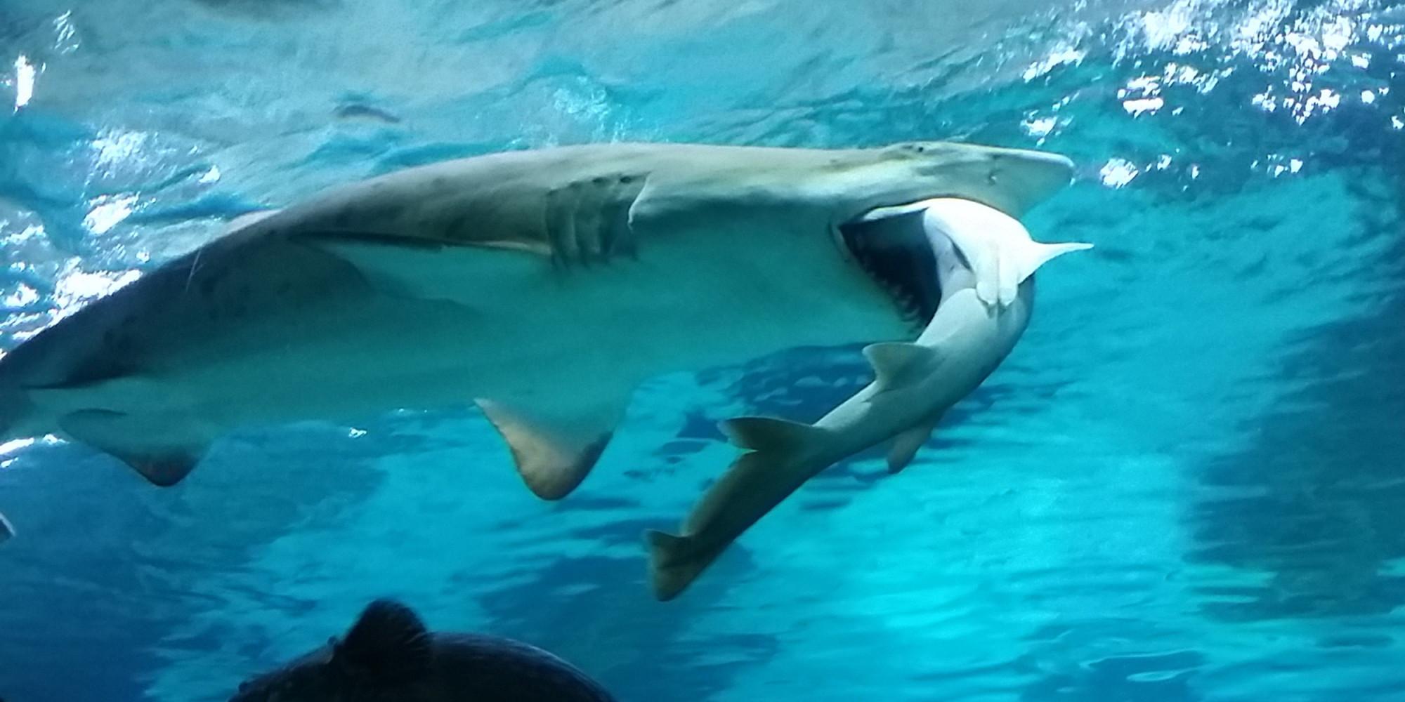 vid 201 o pour le d 238 ner ce requin d un aquarium de s 233 oul a