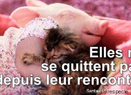 Cette amitié entre un chaton et un bébé cochon va vous faire fondre (VIDÉO)