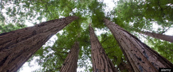 Humboldt County Redwood Tree