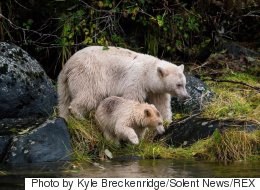 'Unprecedented' Deal Will Preserve Most Of B.C.'s Great Bear Rainforest