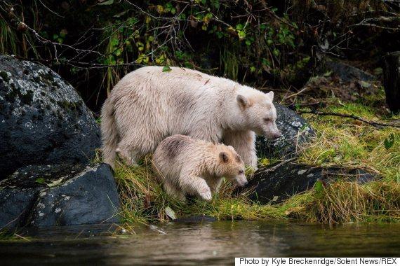 spirit bear bc