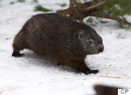 Nova Scotia's Shubenacadie Sam Predicts Early Spring