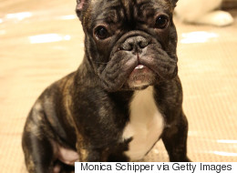 This French Bulldog Playing With A Drone Is Everything