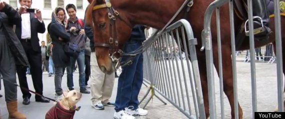French Bulldog And Nypd Horse