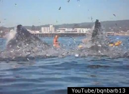 Whales jumping out of water next to surfer - photo#15