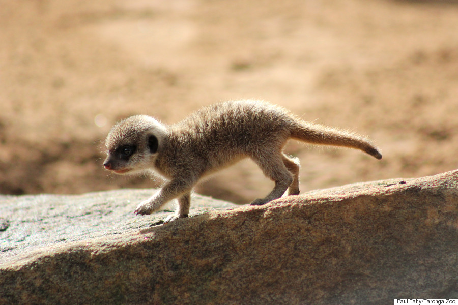 baby meerkat pup