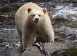 Ending B.C.'s Trophy Hunt Will Cost Millions