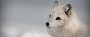 Fox Grey