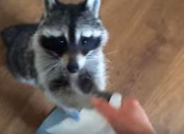 Perfectly Trained Raccoon Brings Tissues Whenever Her Owner Sneezes