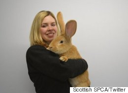 Rescued Continental Giant Rabbit, Who Is The Size Of A Dog, Needs A New Home