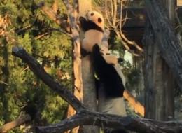 Bei Bei est un petit panda courageux (trop peut-être) (VIDÉO)