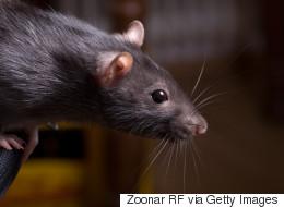 Les rats grouillent à l'École secondaire Vanier