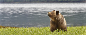 Great Bear Rainforest Grizzlies