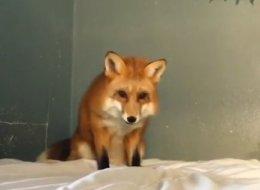 Ce renard confond un lit avec de la neige (VIDÉO)