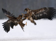 Photographer Captures Incredible Pictures Of Eagles In Mid-Air Epic 'Kung-Fu' Battle