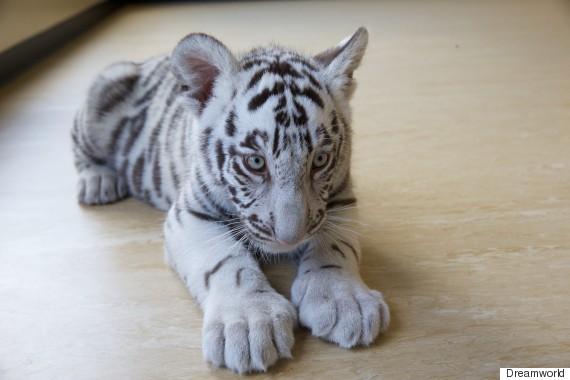 tiger cubs 1