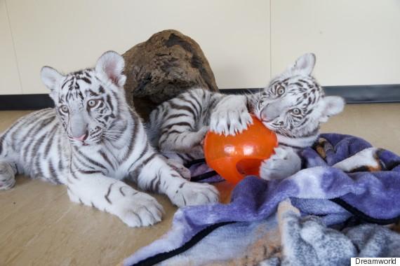 tiger cubs 2